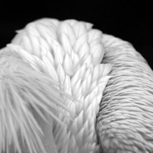 plumagenampb